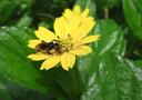 Bee (Heterotrigona itama) on a yellow flower