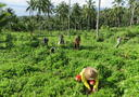 Participants intercropping native seedlings in coconut plantations that were affected by Super Typhoon Haiyan.