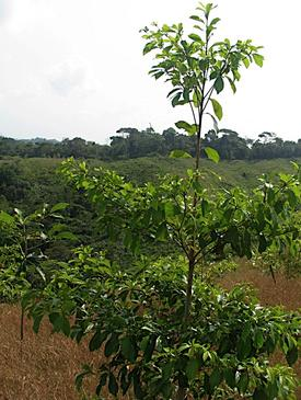 Conference: Ecology and Ecosystem Services of Native Trees, Implications for Mesoamerica