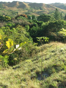 Native species reforestation being conducted in a degraded agricultural landscape in the tropical dry forest ecosystem of Panama.