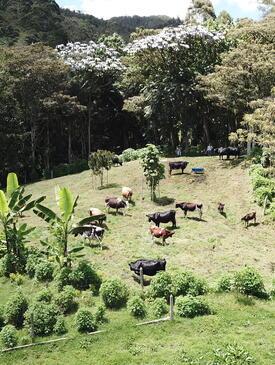 Sistema silvopastoril en una pequeña finca lechera de la Cordillera Central en Colombia. | Silvopastoral system in a dairy farm of the Colombian Andes.
