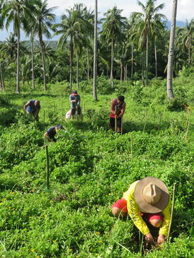 Person in a straw hat leaning down in a lush green field. Coconut trees are in the background.
