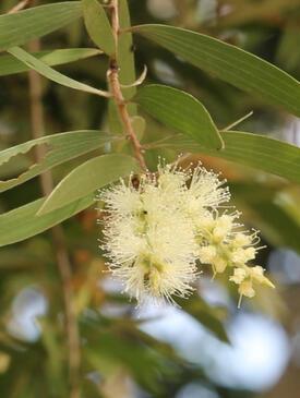 Melaleuca cajupti tree