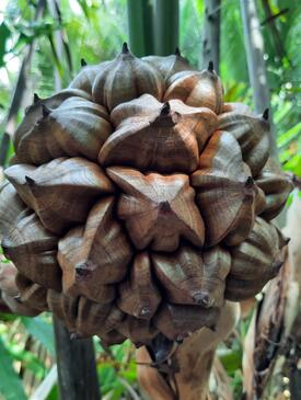 Nypa fruit. Brown, woody-looking clusters of nuts