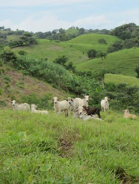 Silvopastoral systems utilize biodiversity and ecological function to improve animal welfare and sustain on-farm production.