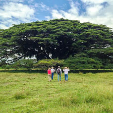 Course participants about to enjoy the shade of an octogenarian Albizia saman tree